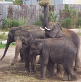Asian Elephants at the African Lion Safari as part of the study.