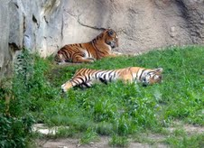 Amur previously known as Siberian tigers at the Columbus zoo.