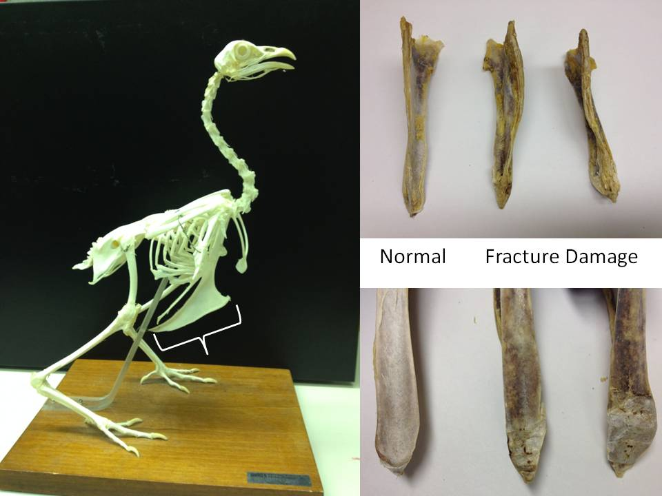 Chicken skeletal anatomy and examples of keel bone injuries.
