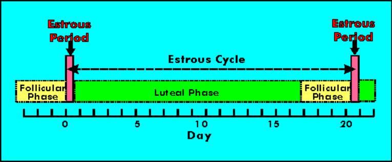 Slide0034 on Estrous Cycle